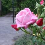 Avenue Rose